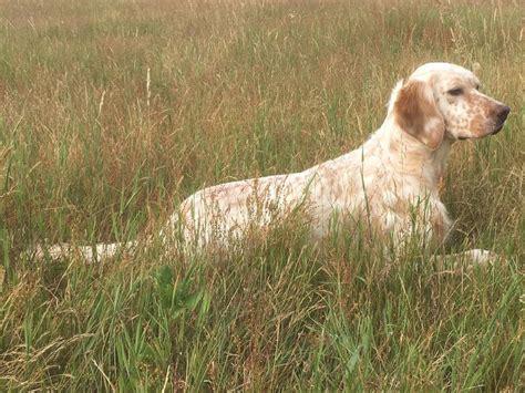 definition de setter jaya roc mignon 233 levage de chien de chasse setter