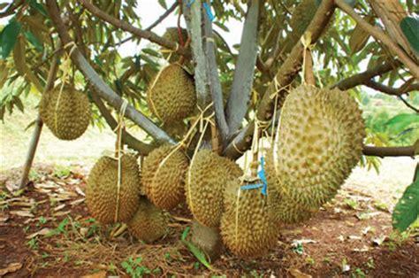 bibit unggul durian