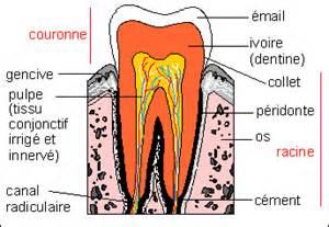 coupe d une dent humaine