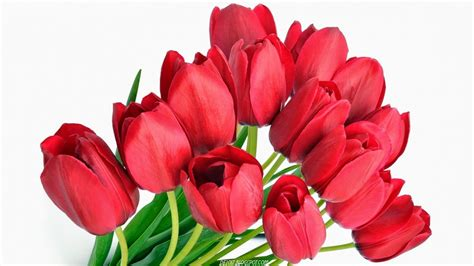 wallpaper bunga tulip hd wallpaper bunga tulip merah deloiz wallpaper