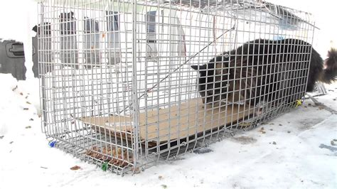 stray cat trap stray feral cat trapping trap neuter return 2 youtube