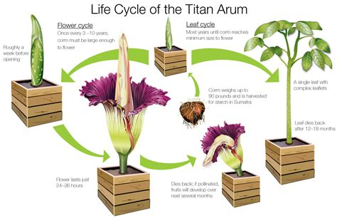 corpse flower life cycle of the titan arum my chicago botanic garden