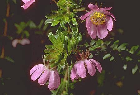 boab fiore australiano fiori di bush o australiani immagini