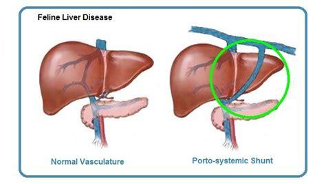 liver shunt in dogs portosystemic shunt related keywords portosystemic shunt keywords keywordsking