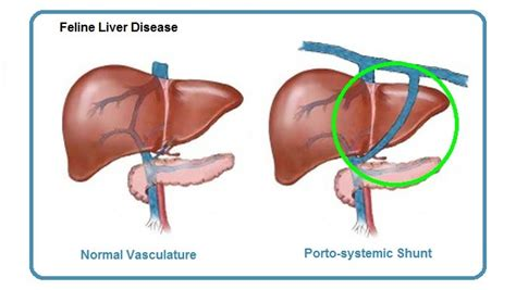 liver shunt in puppies portosystemic shunt related keywords portosystemic shunt keywords keywordsking