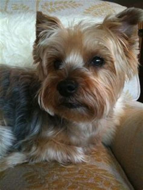 short cuts for silky terrier yorkie cuts for short haired silky puppy cut silky