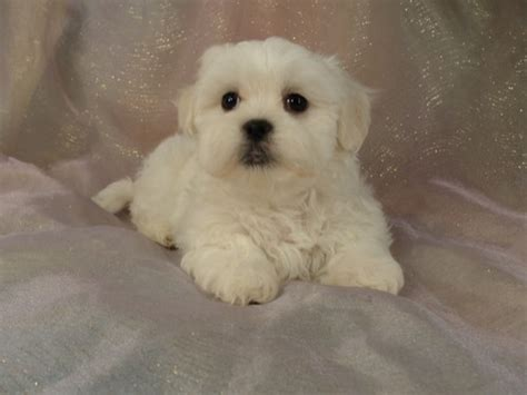 teddy shih tzu bichon puppies shih tzu bichon puppies for sale iowa 2012