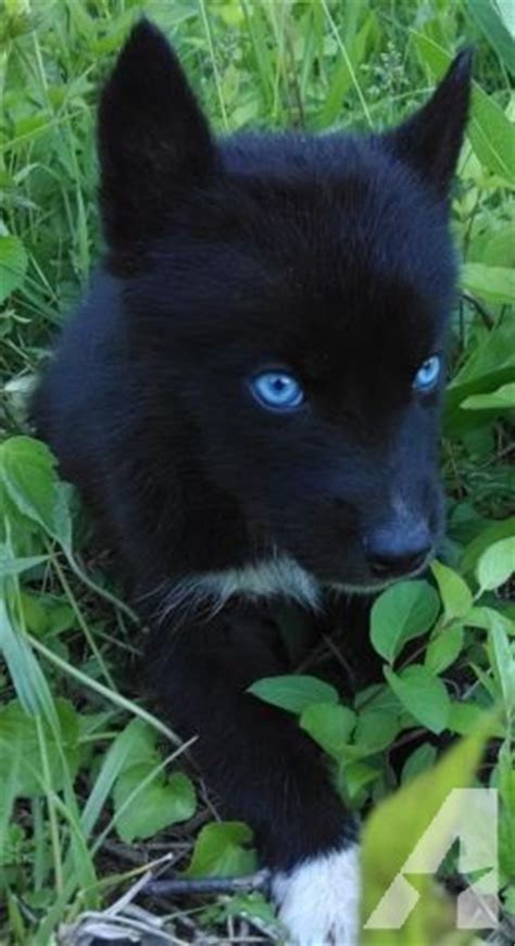 black husky puppies the gallery for gt black husky puppies