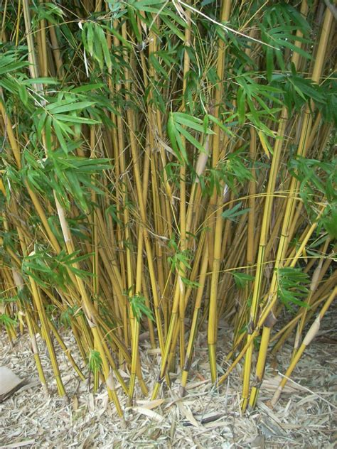 bamboo alphonse karr tropical looking plants other