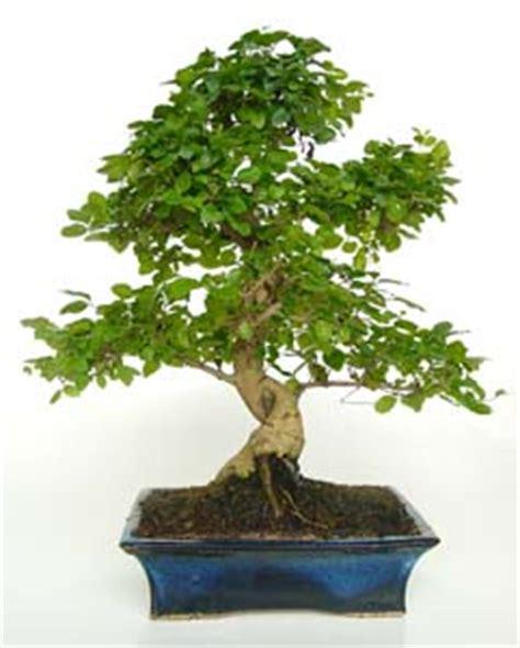 bonsai interieur jardiland jardiland tienda online jardiner 237 a muebles de jard 237 n y