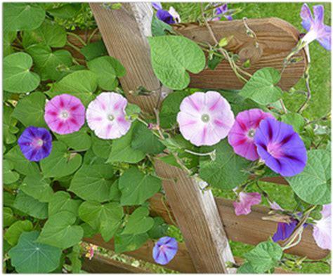 Plante Grimpante Pousse Rapide by Choisir Une Plante Grimpante