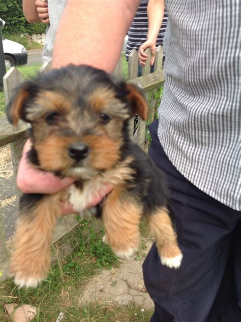 yorkies for sale in kent for sale beautiful yorkie puppies ashford kent pets4homes