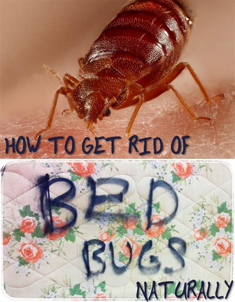 How Is It To Get Rid Of Bed Bugs by Getting Rid Of Bed Bugs Isolate The Bed Bed Bugs Are