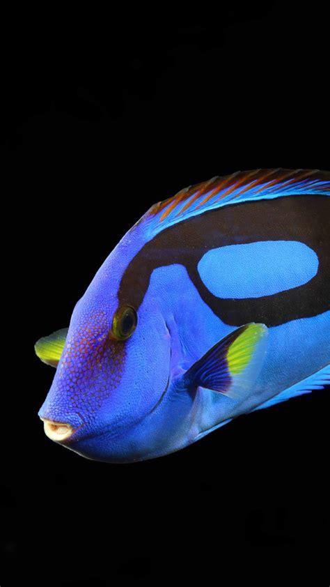wallpaper surgeonfish water aquarium reef animals blue