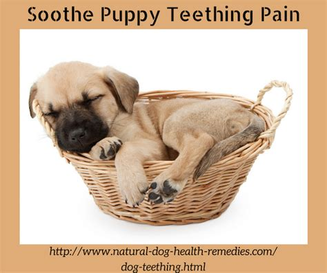 teething puppy remedies teething puppy teething and relief