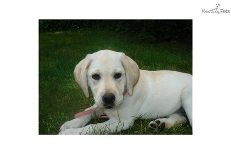 puppies for sale on cape cod lab dogs for sale on cape cod myideasbedroom