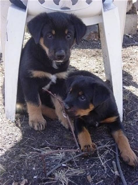 rottweiler australian cattle mix the puppy vs the 6