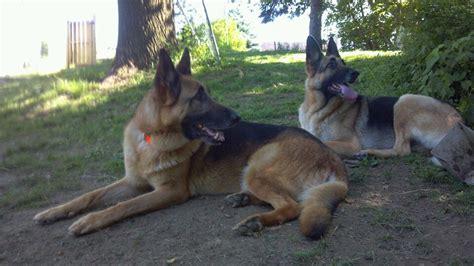 german shepherd puppies pittsburgh pittsburgh bixler and layla