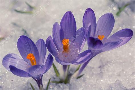 fiori viola immagini fiori viola nella neve foto stock 169 maxbarattini 114030392