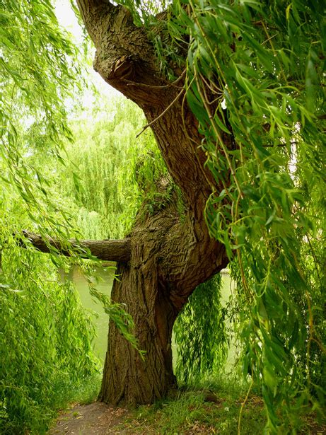 Kagenos Springtime Of 05new Releasefree Sul willow tree free stock photo domain pictures