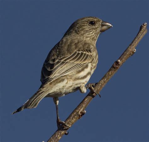 house finch san diego bird spot