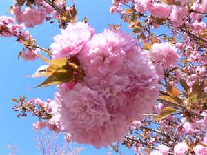 tree with pink flowers kwanzan cherry trees pink flowers