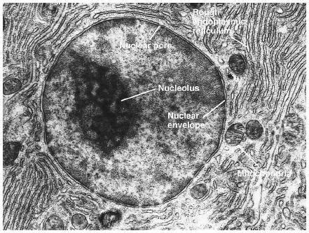 animal cell   microscope