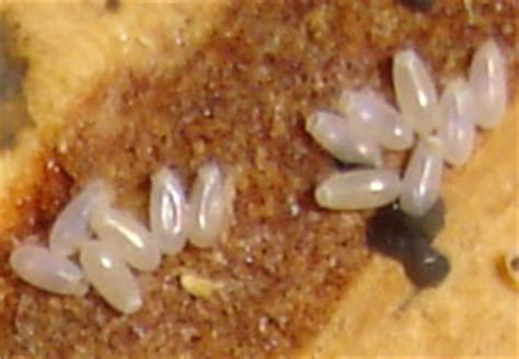 do bed bugs lay eggs what do bedbugs look like