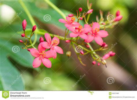 imagenes de flores egipcias flores egipcias o pentas lanceolata del c 250 mulo de