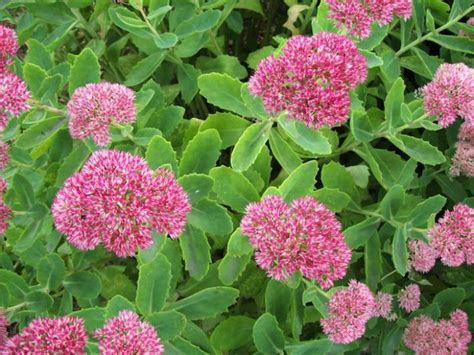 sedum how to plant grow and care for sedum plants the old farmer s almanac