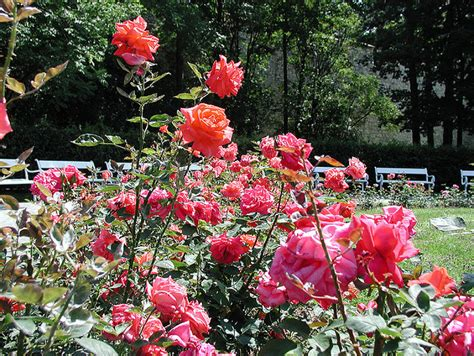 tipos de rosales cuidar de tus plantas es facilisimo poda de rosales cuidar de tus plantas es facilisimo poda
