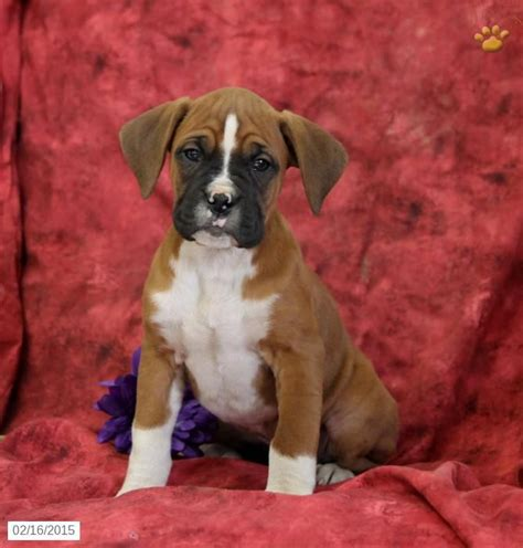 boxer puppies for sale in pa 20 best images about beagle on