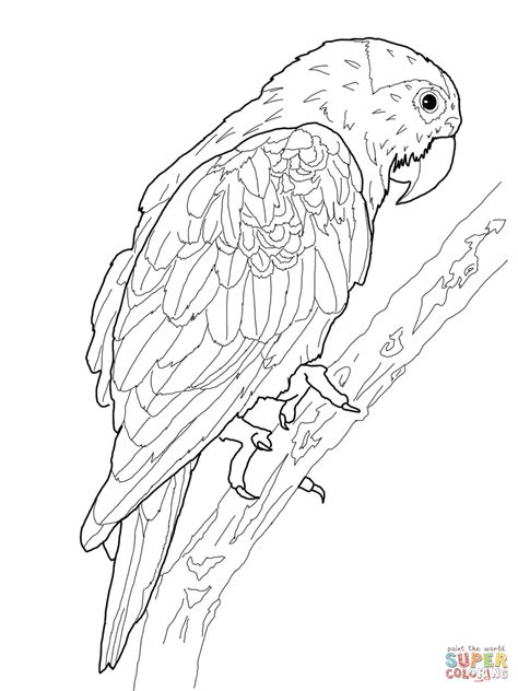 kea coloring pages download drawing parrot pictures to color 61 with additional