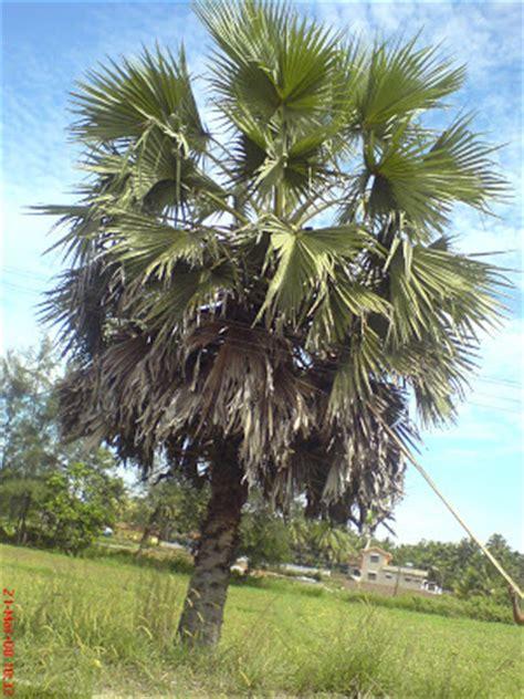 fruit bearing palm trees asian palmyra palm toddy palm enidhi india