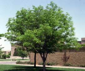 Chinese pistache tree for tulsa landscape