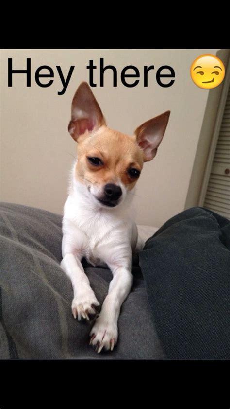 Meme Chihuahua - m 225 s de 1000 ideas sobre chihuahua meme en pinterest los