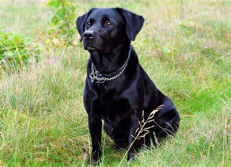imagenes labrador negro el perro negro tipos significados leyendas y fotos de