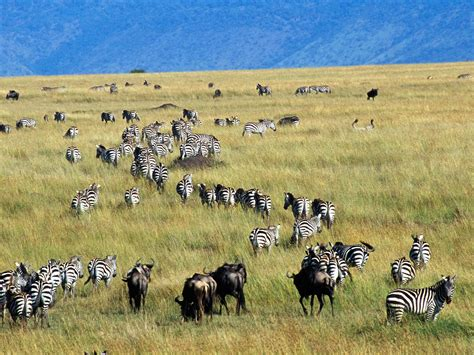 african safari animals beautiful animals safaris the amazing great wildebeest