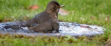 the rspb blackbird breeding