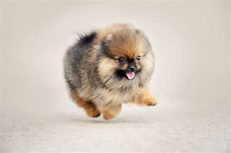 pomeranian that looks like a teddy pomeranian puppies that look like teddy bears pets wallpapers