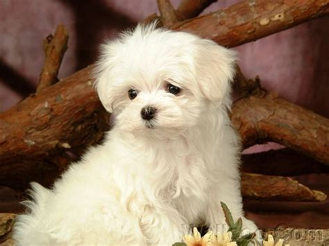maltese puppy cut pictures puppies images cuddly fluffy maltese puppy wallpaper and background photos 13986017