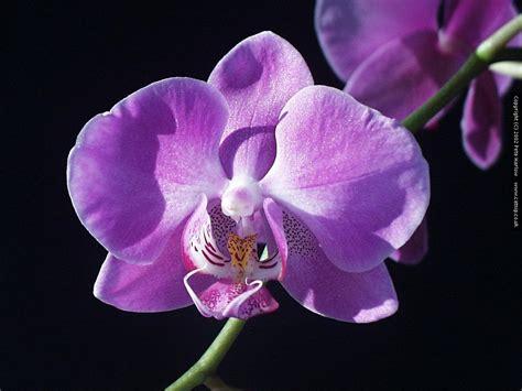 suara kekasih batik orkid  pembikinan batik