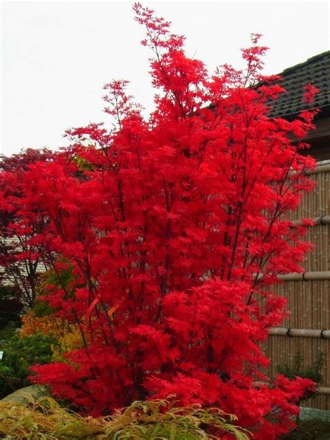 large japanese large acer japanese maple tree skeeters broom