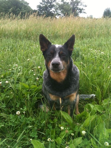 blue heelers s01e01 a womans place 255 best images about dogs heelers australian cattle