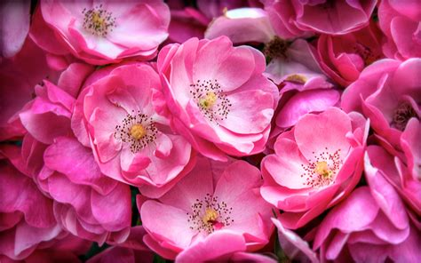 floral pictures pink flowers 19311 2560x1600 px hdwallsource com
