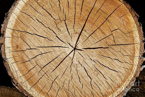 section of tree maple tree cross section photograph by alan l graham