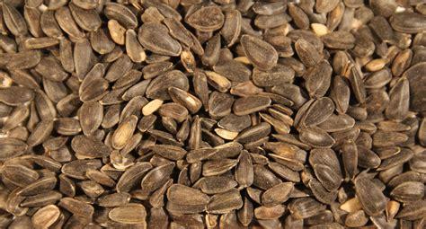 black sunflower seeds for sheep northern gate bird food