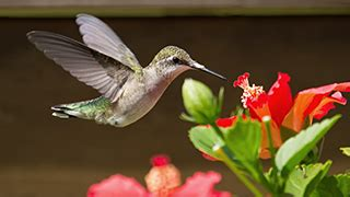 grow red buckeye trees  hummingbirds trees shrubs