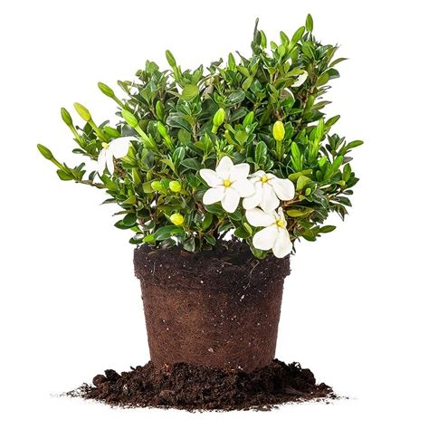 Gardenia Size Kleims Hardy Gardenia Live Plant Size 3 Gallon Ebay