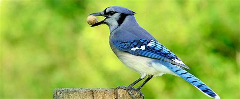 how to attract blue jays to your backyard how to attract blue jays to your backyard how to attract